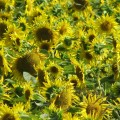 Sunflowers in Nabirat